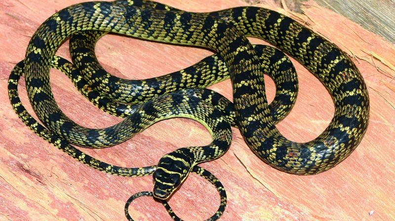 the ornate ground snakes rarity in the animal kingdom It looks like you've lost connection to our server please check your internet connection or reload this page.